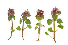 Pink deadnettle Wildflower Stock Images