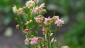 Pink decorative aquilegia flowers stock video