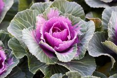 Pink decorative cabbage close-up, natural background royalty free stock images