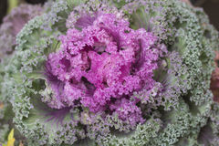 Pink decorative cabbage. Decorative cabbage. Garden plant. Decorative vegetable royalty free stock image
