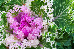Pink decorative cabbage, macro photo, selective focus Stock Image