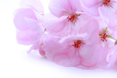Pink delicate flower geranium Stock Images