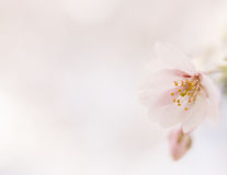 Pink delicate flower, image with copy space. Stock Photo