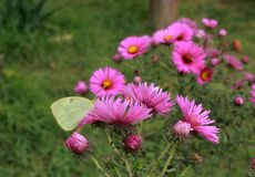 Pink delicate flowers and a pale yellow butterfly on it,. Insects and plants in the garden, close-up, photography for design and background, spring photography stock photos