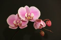 Pink delicate orchid blossoms on a black blurred background Royalty Free Stock Images