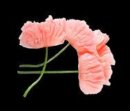 Pink delicate poppy flowers isolated on black background. Macro. A symbol of sleep, oblivion and imagination. stock photo