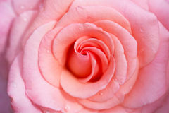 Pink delicate rose Royalty Free Stock Images