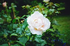 Pink delicate rose close-up, beautiful natural background royalty free stock images