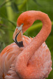 Pink Delight. An Amercian Flamingo at the local zoo Royalty Free Stock Image