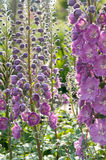 Pink Delphinium Flowers In Garden. With sunshine backlighting them Stock Photo