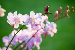 Pink dendrobium orchid Stock Photos