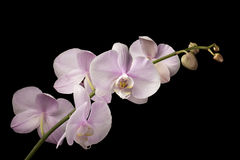 Pink Dendrobium Orchid on Black Background Royalty Free Stock Photography