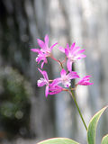Pink Dendrobium Orchid. A cluster of pink dendrobium orchid, with simple background, Captured under the natural environment Stock Photos