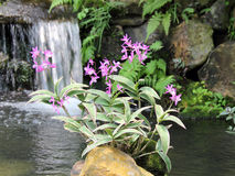 Pink Dendrobium Orchid. A cluster of pink dendrobium orchid, with simple background, Captured under the natural environment Stock Image