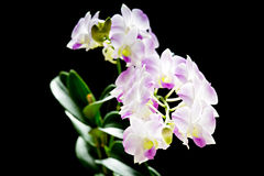 Pink Dendrobium orchid of Thailand Stock Photos