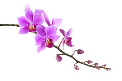 Pink Dendrobium orchid on white background Royalty Free Stock Photography