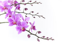 Pink Dendrobium orchid on white background Stock Image