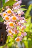 Pink Dendrobium thyrsiflorum orchids. Beautiful Dendrobium thyrsiflorum in Thailand,Close up of beautiful orchid.,Dendrobium thyrsiflorum Rchb.f Royalty Free Stock Images