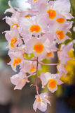 Pink Dendrobium thyrsiflorum orchids. Beautiful Dendrobium thyrsiflorum in Thailand,Close up of beautiful orchid.,Dendrobium thyrsiflorum Rchb.f Stock Photography