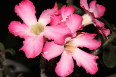 Pink Desert rose. With black color background Royalty Free Stock Images