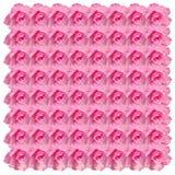 Pink Desert rose flower on white Stock Photography