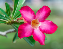 Pink Desert Rose or Impala Lily Royalty Free Stock Photos
