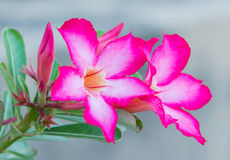 Pink Desert Rose or Impala Lily. Or Mock Azalea flower Royalty Free Stock Images