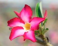 Pink Desert Rose Royalty Free Stock Photography