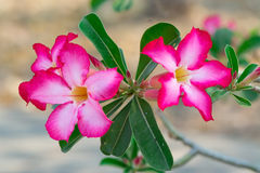 Pink Desert Rose. Or Impala Lily or Mock Azalea flower Stock Photos