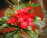 Pink Desert Rose or Impala Lily or Mock Azalea flower Stock Image