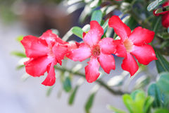 Pink Desert Rose or Impala Lily or Mock Azalea flower Stock Photography