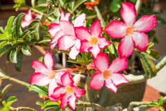 Pink Desert Rose, Impala Lily or Mock Azalea with Scientific name as Adenium : One of popular flower for home garden Stock Photography