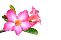Pink desert rose isolated on white background Stock Photo
