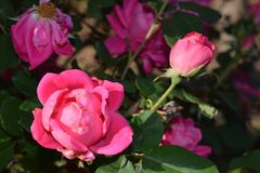 Pink detailed Rose Flower blooms. In stages bud to die back Stock Photos