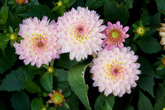 Pink Dhalia Stock Images