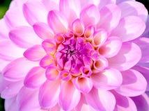 Pink Dhalia closeup Stock Image