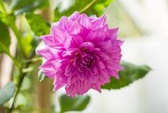Pink dhalia flower Royalty Free Stock Photos