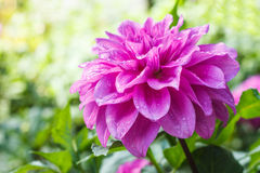 Pink dhalia flower Stock Images