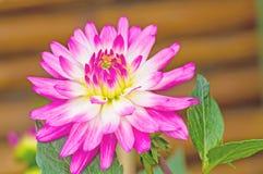 Pink Dhalia flower in the summer garden Stock Photos