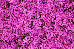 Pink Dianthus ameria Stock Image