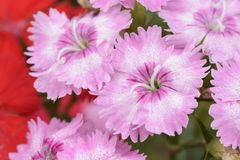 Pink Dianthus barbatus flowers Stock Photography