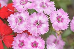 Pink Dianthus barbatus flowers Royalty Free Stock Images
