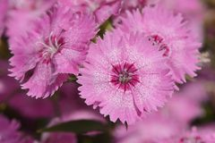 Pink Dianthus barbatus flowers Royalty Free Stock Photo