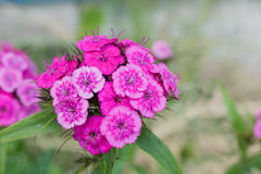 Pink dianthus barbatus on a green background Stock Images