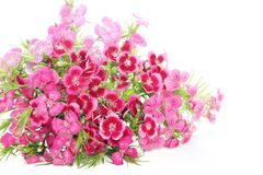 Pink dianthus bartatus Stock Photos