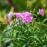 Pink Dianthus caryophyllus. Close up Pink Dianthus caryophyllus flower Stock Images