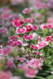 Pink Dianthus chinensis flower. Stock Images