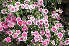 Pink Dianthus chinensis flower. Stock Photography