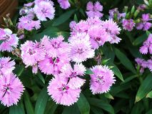 The Pink Dianthus flower Royalty Free Stock Photography