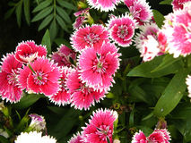 Pink Dianthus flower Royalty Free Stock Image